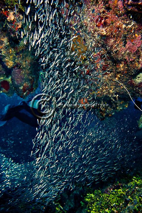 Reef Silversides, Atherinidae, Clupeidae, Engraulididae, Orange Canyon, Grand Cayman