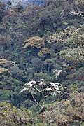 Cecropia; Cecropia sp.<br /> Tapichalaca Reserve; Ecuador, Zamora Chinchipe