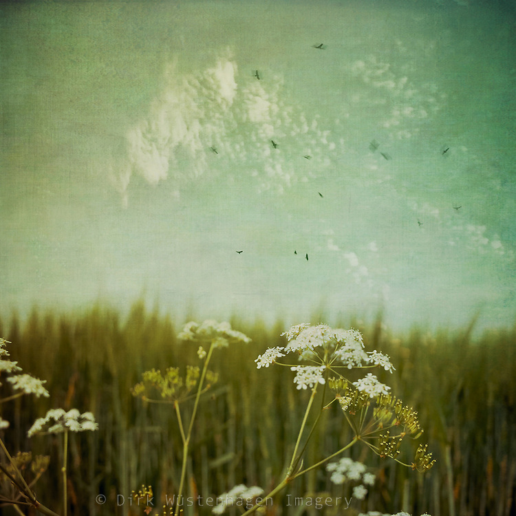 Common yarrow at the fringe of a barley field - digitally texturized and manipulated photograph
