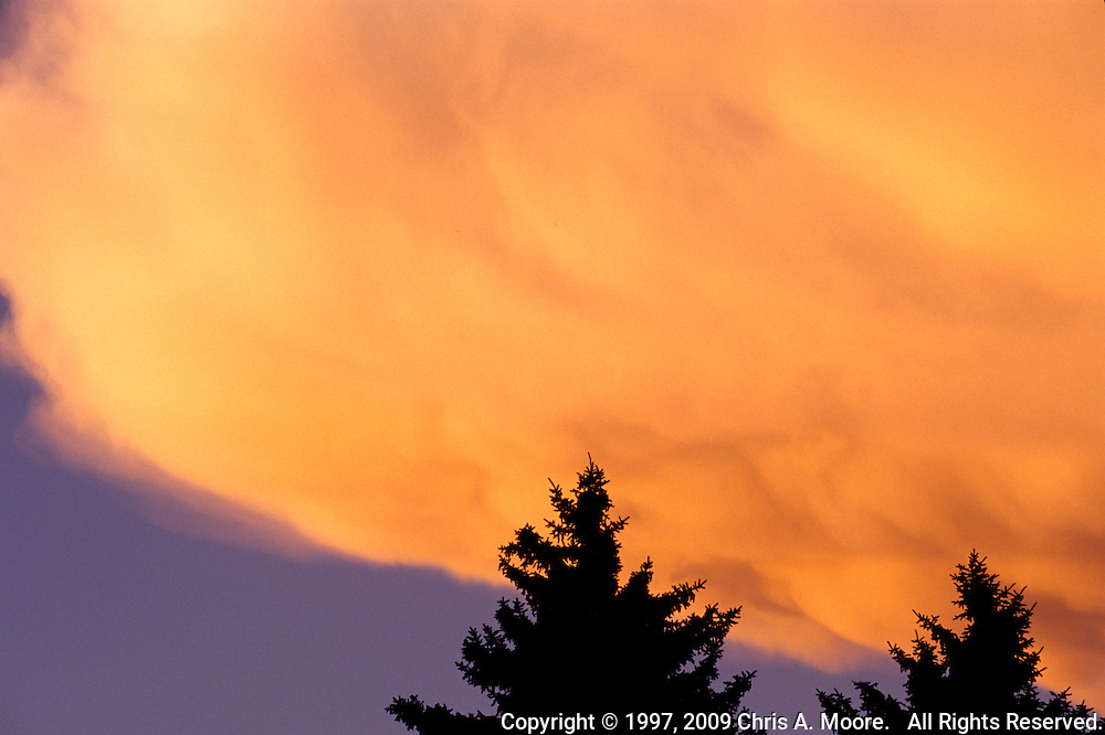 Blue Spruce are silhouetted by glowing orange Cumulus clouds.  I took this image from by backyars in Denver, Colorado, August 1997.
