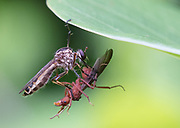 Robber Fly; Asilidae; with male leafcutter ant prey; Ecuador, Prov. Loja, Macará, Jorupe Reserve,