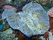 This bivalve displays blue stripes glowing under ultraviolet light, next to some coral, at the Seattle Aquarium, Washington, USA.