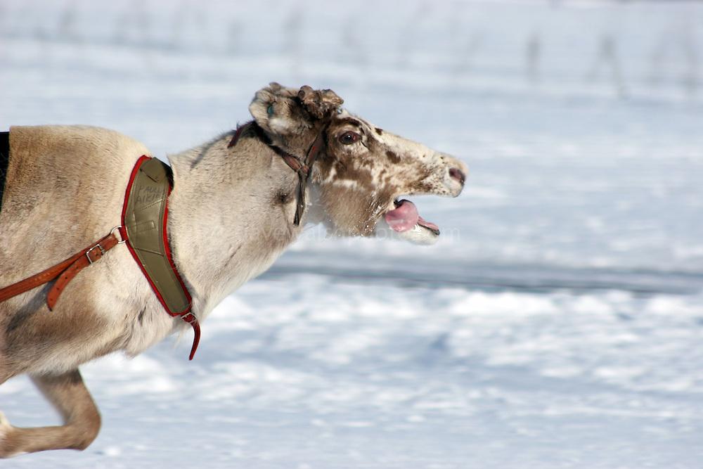 Reindeer racing, Inari, Finland