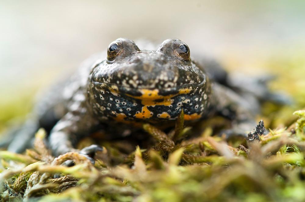 European fire-bellied toad (Bombina bombina), klockgroda<br /> Location: Eneborg, Sk&aring;ne, Sweden