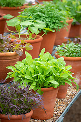 The winter salad leaf collection in a glasshouse at West Dean. Salad Rocket 'Victoria'