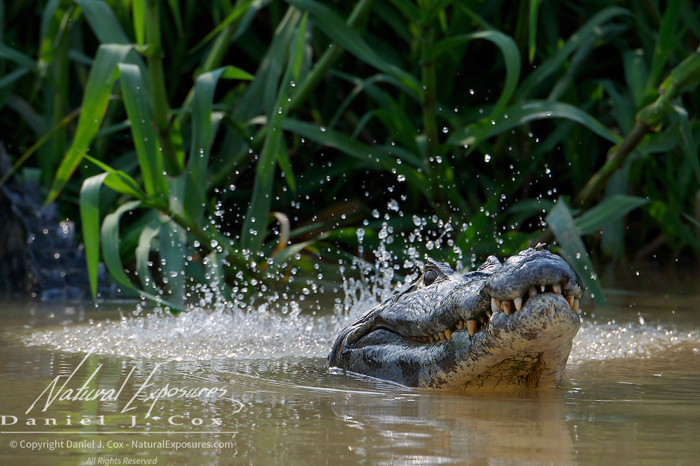 Caiman, large bull, bellowing mating call, vibrating his body to agitate the water, Pantanal, Brazil