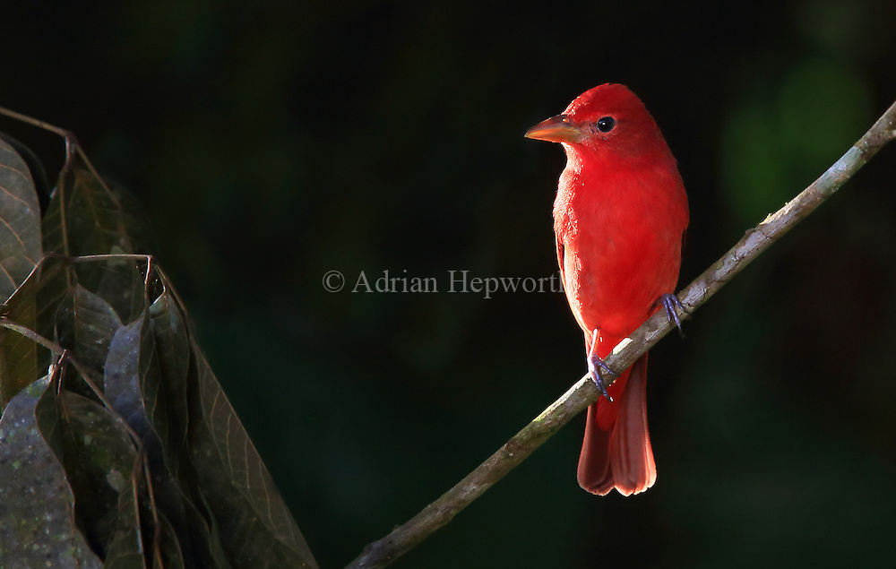 Male Summer tanager (Piranga rubra). Caribbean rainforest, Costa Rica. <br />