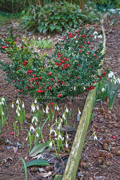 Ruscus aculeatus (Butcher's broom) with Galanthus nivalis Sandersii group