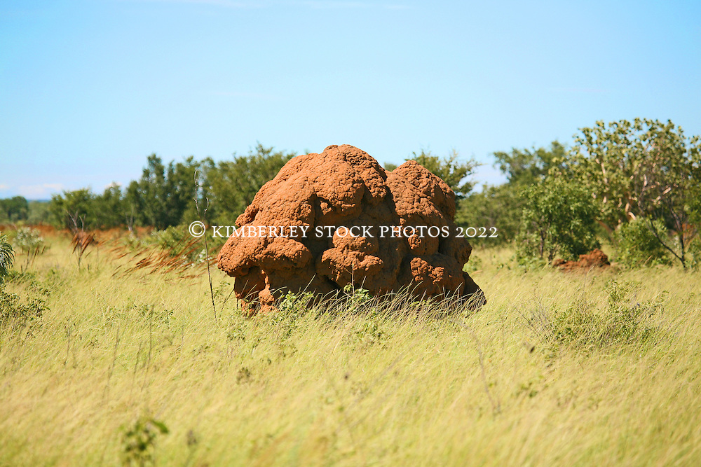 A spinifex termite mound by the roadside on the main highway to Fitzroy Crossing in the Kimberley wet season.  Spinifex termites build large dome shaped mounds, up to several metres high.