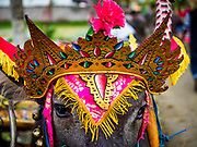 30 JULY 2017 - TUWED, JEMBRANA, BALI, INDONESIA: A water buffalo decorated for a makepung (buffalo race) in Tuwed, Jembrana in southwest Bali. Makepung is buffalo racing in the district of Jembrana, on the west end of Bali. The Makepung season starts in July and ends in November. A man sitting in a small cart drives a pair of buffalo bulls around a track cut through rice fields in the district. It's a popular local past time that draws spectators from across western Bali.    PHOTO BY JACK KURTZ