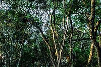 Árvores na trilha da Costa da Lagoa. Florianópolis, Santa Catarina, Brasil. / Trees at Costa da Lagoa trekking trail. Florianopolis, Santa Catarina, Brazil.