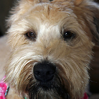 Soft Coated Wheaten Terrier, dog,  wearing bandanna. Close-up of head