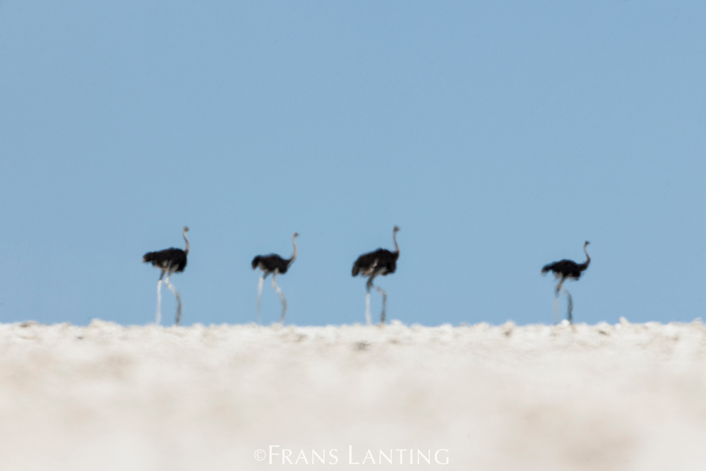 Ostriches on salt pan, Struthio camelus, Etosha National Park, Namibia