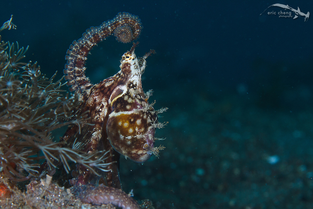 A mosaic octopus (Abdopus abaculus). Torpedo Alley, Nusa Kode, Rinca, Komodo National Park, Indonesia.
