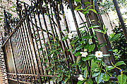 Mandevilla Vine growing on an iron gate in Charleston, SC.