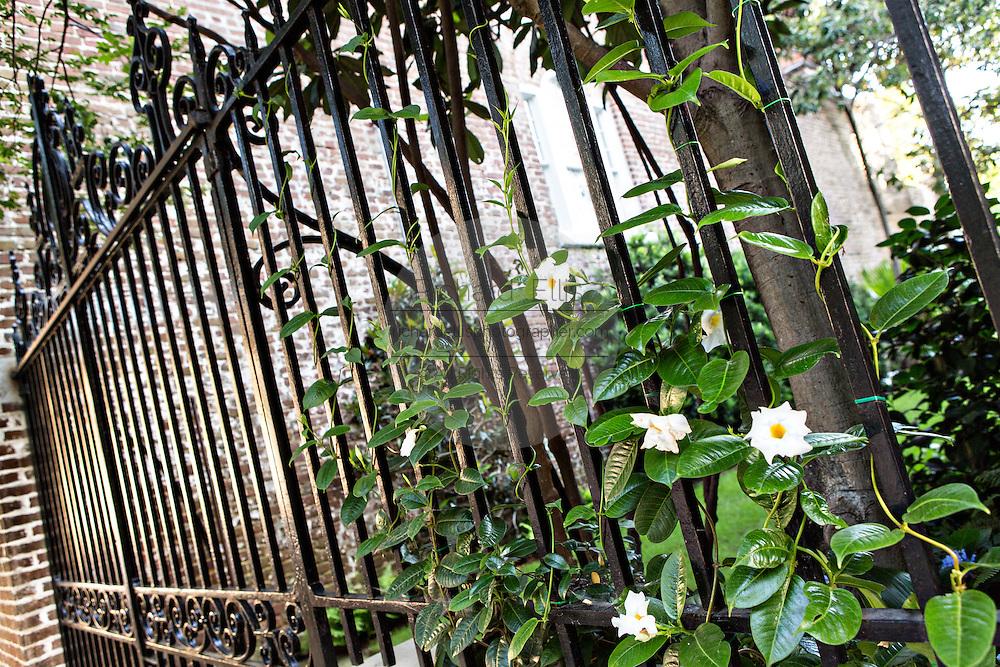 Mandevilla Vine growing on an iron gate in Charleston, SC.