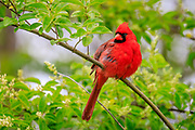 Male cardinal trying to stay warm on a cold wet spring morning. Photographed at the Outer banks of NC in Manteo on Roanoke Island.
