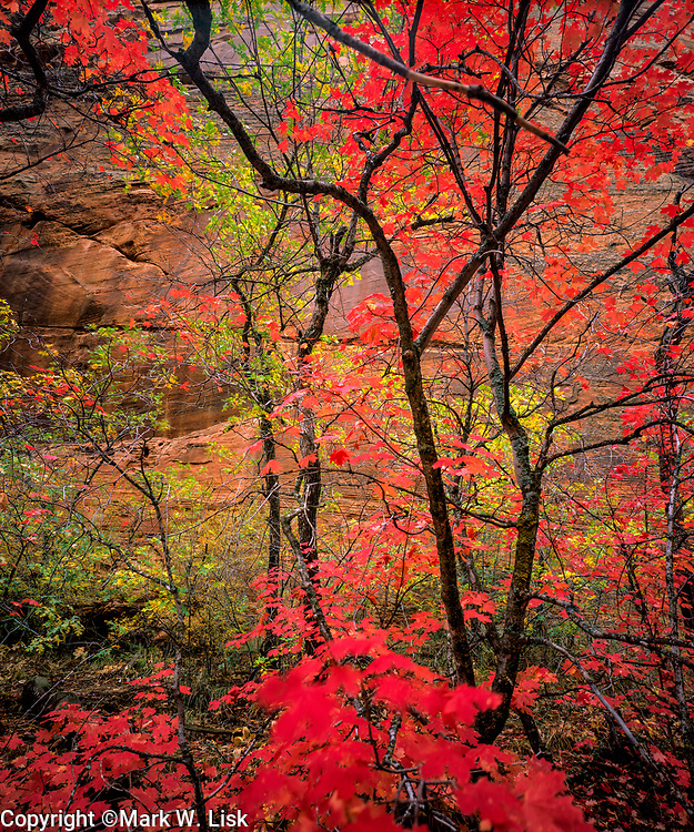Big Tooth Maples grow in the cool canyons of Zion National Park.