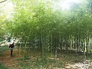 Bamboo Grove at Trsteno Arboretum, Trsteno, Dubrovnik, Croatia
