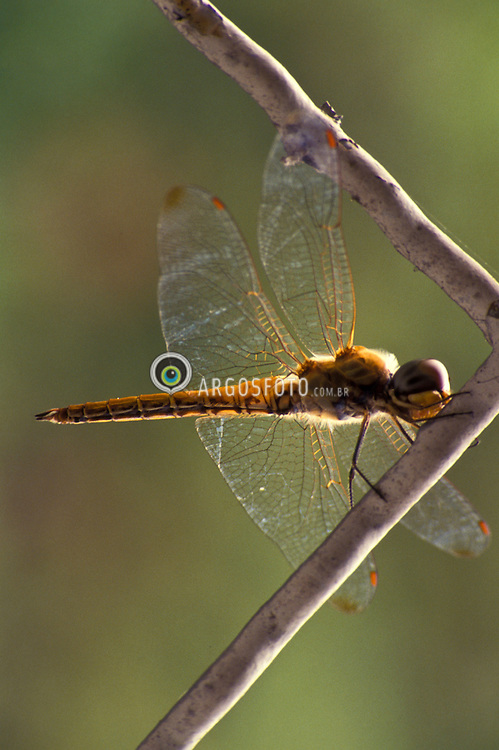 "A libelinha, ou libeula, eh um insecto alado pertencente a sub-ordem Anisoptera. Este grupo tem distribuicao mundial e tem preferencia por habitats nas imediacoes de corpos de agua estagnada/ A dragonfly is an insect belonging to the order Odonata, the suborder Epiprocta or, in the strict sense, the infraorder Anisoptera. Dragonflies are usually found around lakes, ponds, streams and wetlands because their larvae, known as ""nymphs"", are aquatic."