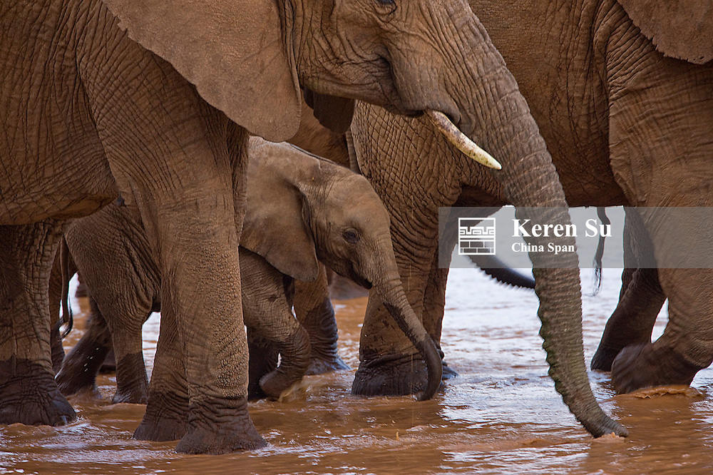 Elephant herd with cub, Samburu, Kenya