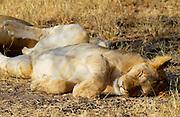 Lioness asleep, Grumeti, Tanzania, East Africa