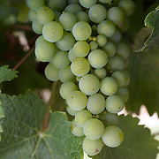 Sauvignon Blanc grapes on the vines in the Marlborough Wine region, Blenheim, South Island, New Zealand...The Marlborough wine region is New Zealand's largest wine producer. The Marlborough wine region has earned a global reputation for viticultural excellence since the 1970s. It has an enviable international reputation for producing the best Sauvignon Blanc in the world. It also makes very good Chardonnay and Riesling and is fast developing a reputation for high quality Pinot Noir. Of the region's ten thousand hectares of grapes (almost half the national crop) one third are planted in Sauvignon Blanc. Marlborough, New Zealand, 10th February 2011. Photo Tim Clayton