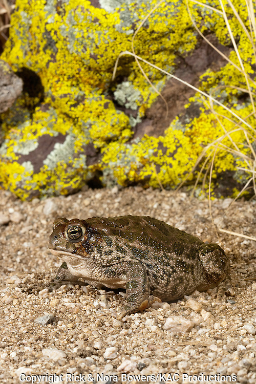 Great Plains Toad .Anaxyrus cognatus .Tucson, Pima County, Arizona, United States.18 August    Adult        Bufonidae