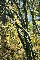 Fall foliage in the Central Cascade Mountains near Washington State Highway 2 USA&#xA;<br />