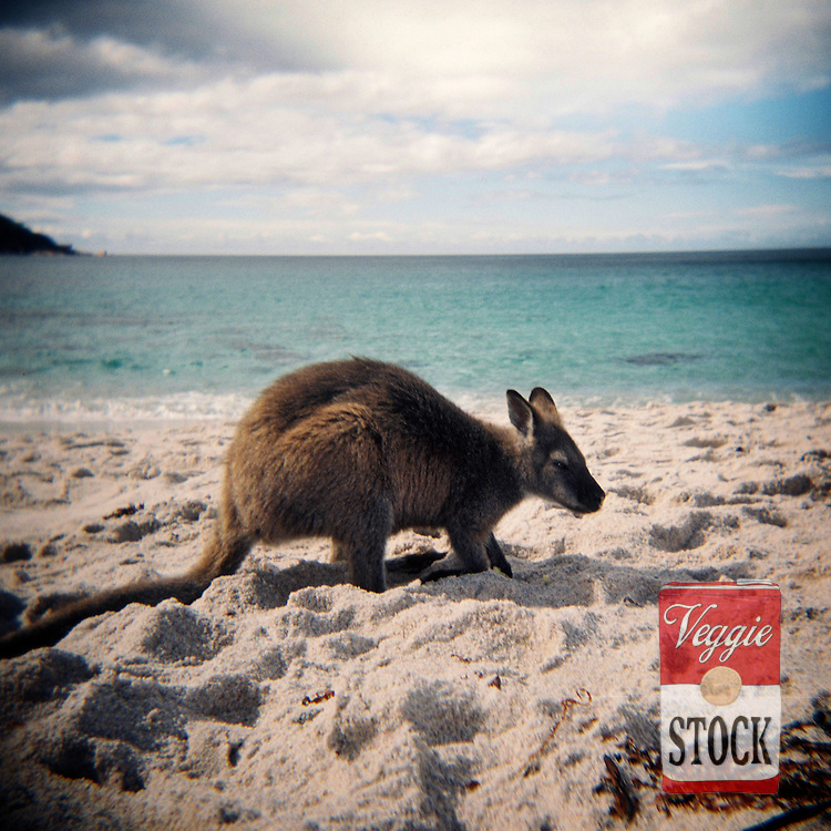 A Wallaby on the beach at Wineglass Bay at Freycinet National Park, Tasmania, Australia, April 2009.