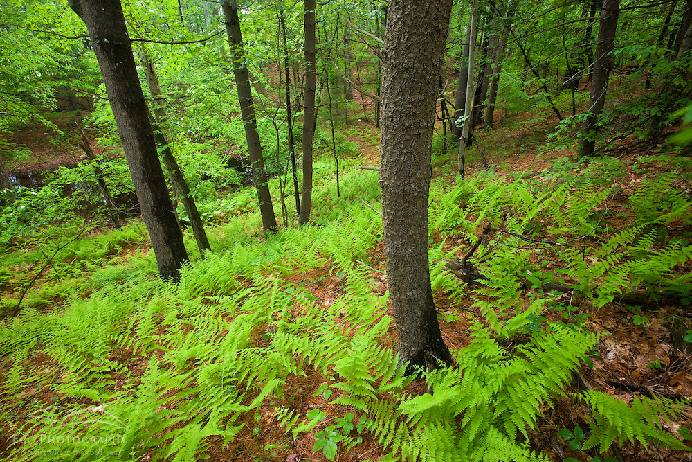 Ferns and white pines in a forest in Medfield, Massachusetts.