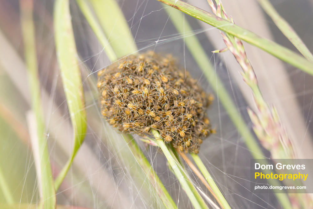 Raft spider (Dolomedes fimbriatus) nursery web with spiderlings. Arne, Dorset, UK.