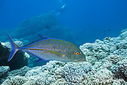 bluefin trevally, bluefin jack, or omilu, Caranx melampygus, Lehua Rock, off Niihau, near Kauai, Hawaii, USA ( Central Pacific Ocean )