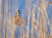A male reed bunting in summer plumage weighing down a phragmites reed on Noah's Lake at Shapwick Heath. The  blue water makes a good backdrop.