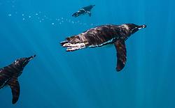 Diving Galapagos penguin (Spheniscus mendiculus)  endemic to the Galapagos Islands, Ecuador