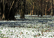 London News pictures. 08.02.2011. Carpets of snowdrops cover woodland ground in the sunshine at Welford Park, Newbury, today (Tues). The grounds are open to the public wednesday - Sunday from 11.00am until 4.00pm. Picture Credit should read Stephen Simpson/LNP