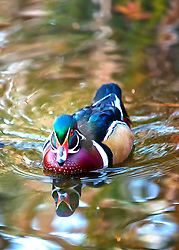 A Wood Duck swims towards the camera casting reflections in the warm water below.<br />