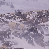 Mountain goats in blizzard. Glacier National Park, Montana.