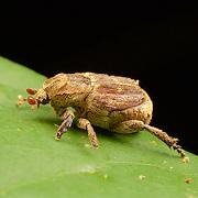 The rose beetle, Adoretus compressus.