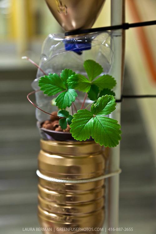 Edible plants growing in a modified window farm system