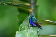 #Violet-bellied Hummingbird, #Hummingbird