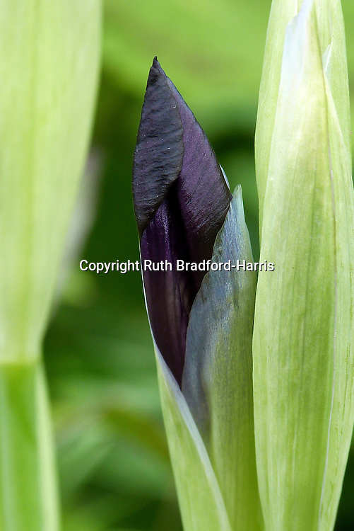 A highly-sculptural near-black flower bud of Iris germanica 'Cherry Garden'. The tight, silky, dark violet buds open to ruffled purple-plum flowers with bright violet beards.<br /> <br /> One of a sequence of three images in this gallery (a full-frame image and two successively closer macro images).<br /> <br /> Date taken: 30 April 2014.