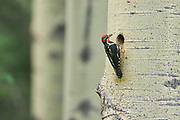 Yellow-bellied sapsucker (Sphyrapicus varius) leaving nest in mature trembling aspen tree (Populus tremuloides). <br />
