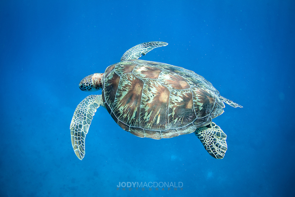 Beautiful sea turtle glides effortlessly through the crystal clear waters of Palau and pauses for a quick look at me.