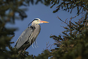 Grey Heron sitting in a tree | Gråhegre som sitter i et tred.