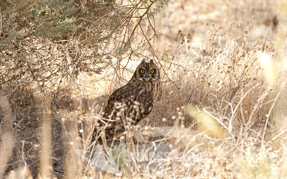 A Short Eared Owl rests on the ground in the shade of sagebrush.