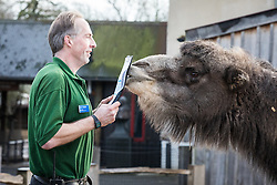 © Licensed to London News Pictures. 03/01/2017. London, UK. Zookeeper Mick Tiley counts the Camels at the London Zoo annual stocktake. Photo credit: Rob Pinney/LNP