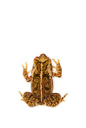 Aerial of a young Cane Toad (Rhinella marina) on white background.
