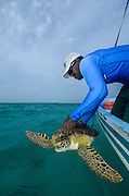 Green Sea Turtle (Chelonia mydas) release after Capture for annual monitoring<br /> MAR Alliance<br /> Lighthouse Reef Atoll<br /> Belize<br /> Central America