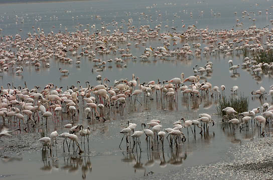 Lesser and Greater Flamingos at Lake Nakuru National Park. Kenya. Africa.